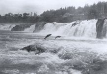 Salmon leaping at Willamette Falls