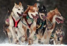 Iditarod Ceremonial Start in Anchorage