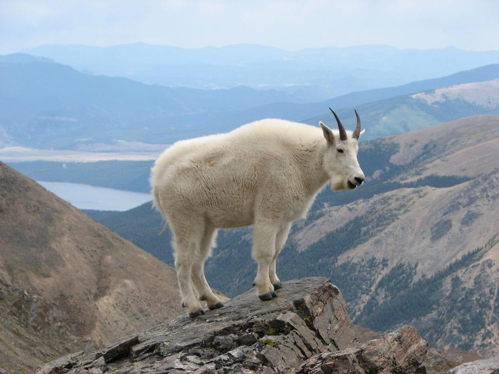 Alaska Mountain Goat