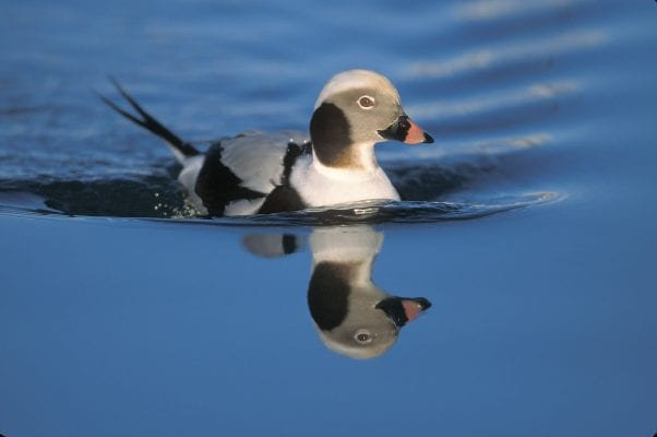 Long-tailed Ducks, formerly known as Oldsquaw, are common winter residents of Prince William Sound. As many as 600 of these birds have been counted during one of Cordova's past Christmas Bird Counts. Photo by Milo Burcham/For The Cordova Times