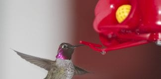 Anna's Hummingbirds have been expanding their range north. This species was first observed on Cordova's count in 2003 and has been counted annually since 2013. Photo courtesy Milo Burcham/for The Cordova Times