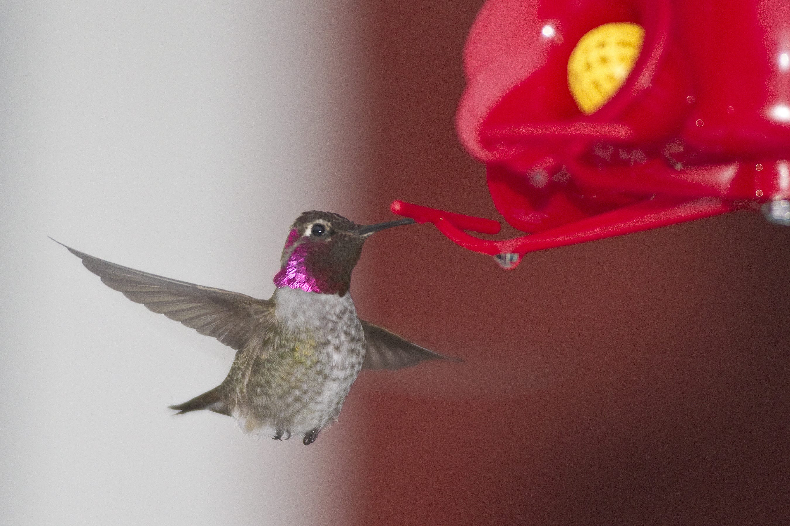 annas hummingbirds have been expanding their range north this species was first observed on cordovas - Audubon Christmas Bird Count