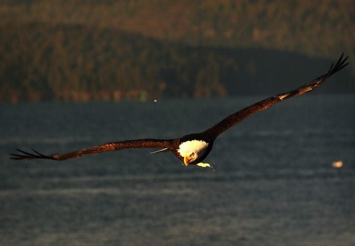 A bald eagle soars back to a tree branch after searching for food near the Cordova Ferry Terminal, as seen from New England Cannery Road on Jan. 5, 2018. At least five bald eagles were spotted resting on nearby tree branches or circling over the water. Photo by Emily Mesner/The Cordova Times