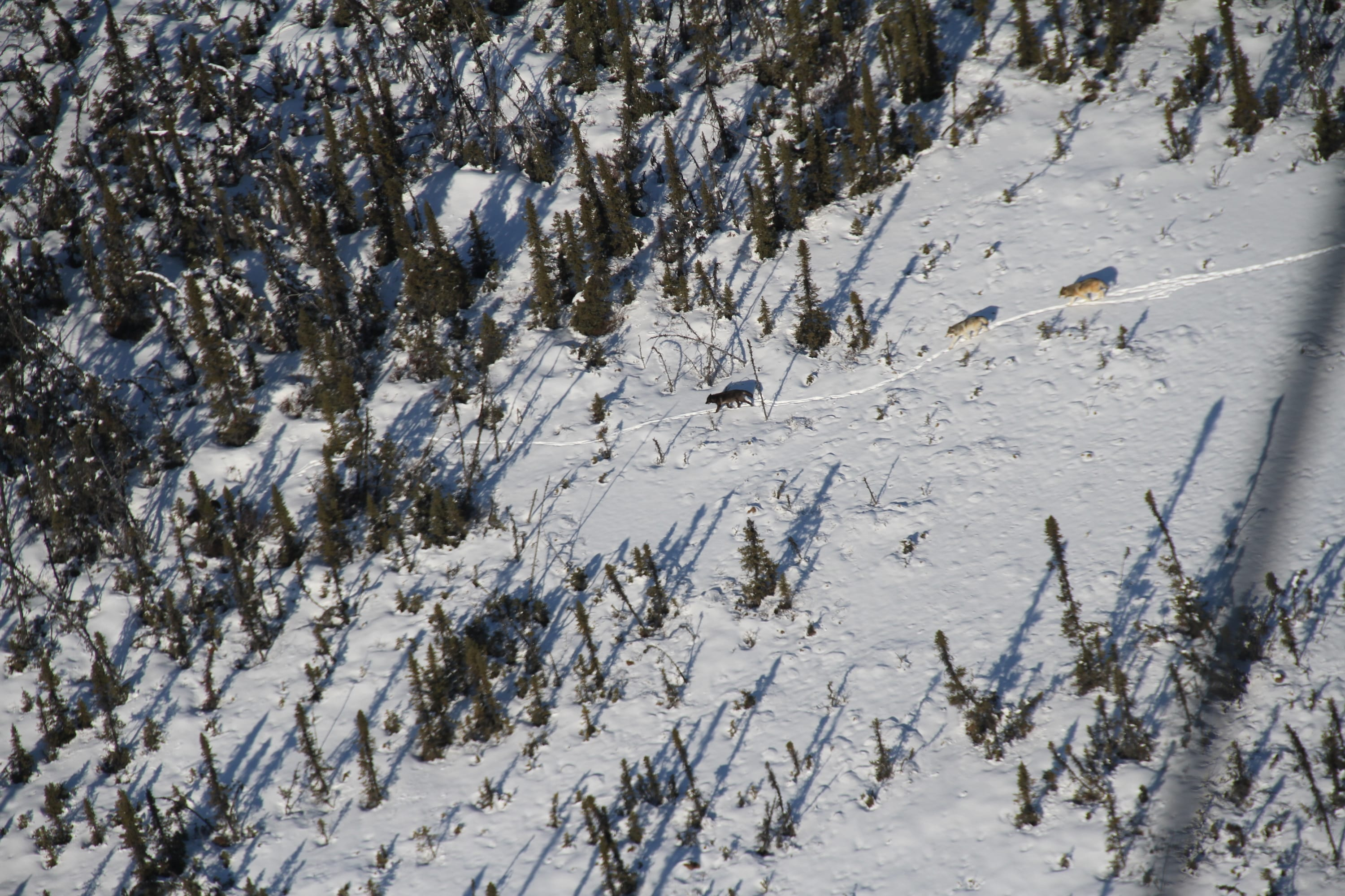 Biologists tracked wolves from above to acquire specimens for a wolf diet study in Lake Clark National Park and Preserve (Photo by Buck Mangipane / National Park Service).