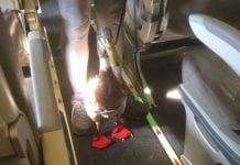 Daniel Turducken Stinkerbutt, a dapperly and diaper clad emotional-support duck, boarding a recent American Airlines flight. Mark Essig courtesy photo
