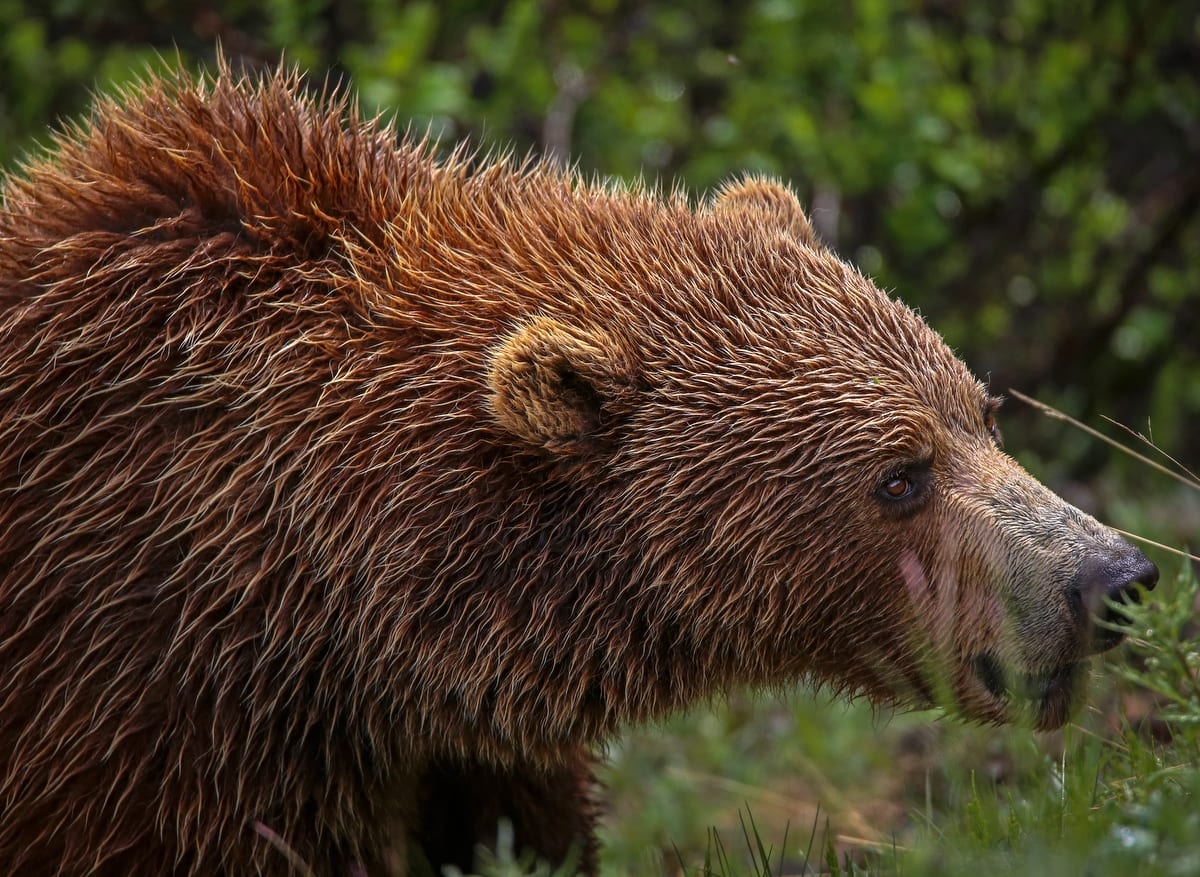 Grizzly bear mauls man on Copper River rafting trip -The ...