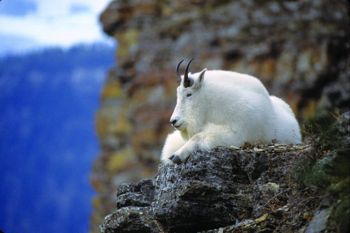 A young billy takes in the view from a high vantage point. Sexual segregation is prevalent through much of the hunting season. Groups of animals are likely to be mostly females and young whereas males are mostly alone. Photo courtesy of Milo Burcham/for The Cordova Times