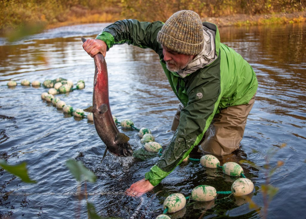 Prince William Sound Science Center Board Member Tommy Sheridan wrangles a salmon at Holbrook Pond. (Oct. 2, 2019) Photo by Zachary Snowdon Smith/The Cordova Times